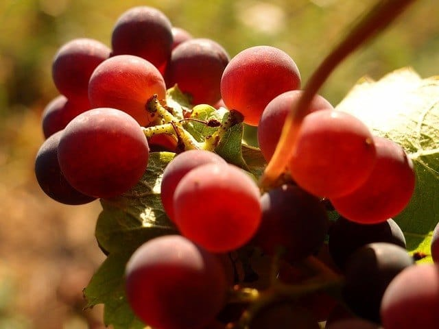 benefits of grape seed
