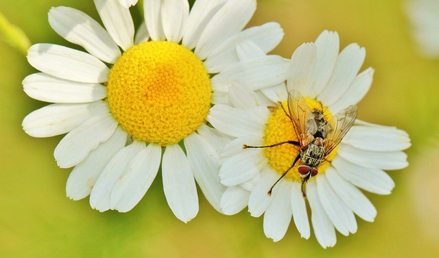What Is Chamomile Used For: Past And The Present