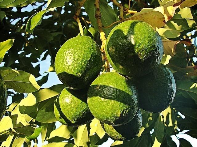 vitamin e foods avocado