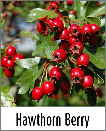 Hawthorn berry nutrition facts