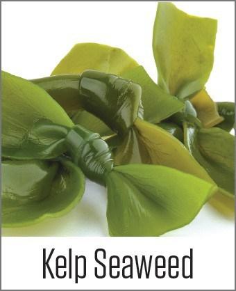 Kelp Seaweed in MOA